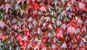 videira-vermelha-trata-e-previne-varizes-e-frieiras