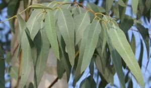 plantas-super-eficientes-para-combater-a-bronquite