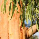 Preparos com eucalipto para tratar transtornos respiratórios