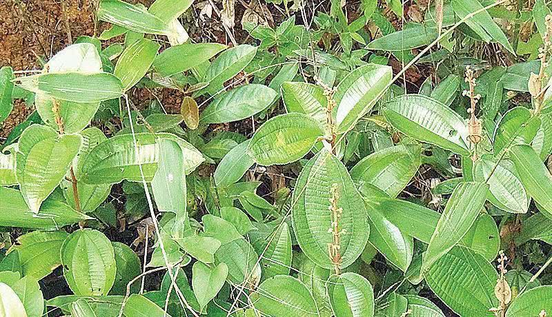 Canela de velho: 'poderosa' planta contra a artrose