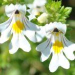Conheça eufrásia: a 'erva da visão'