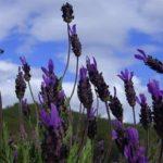 Benefícios e propriedades do chá de rosmaninho
