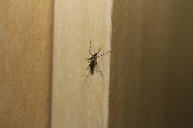 Chá da folha de siriguela pode minimizar sintomas da dengue