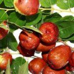 Chá de jujuba: benefícios e propriedades desta bebida