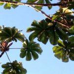 Chá de umbaúba: benefícios e propriedades