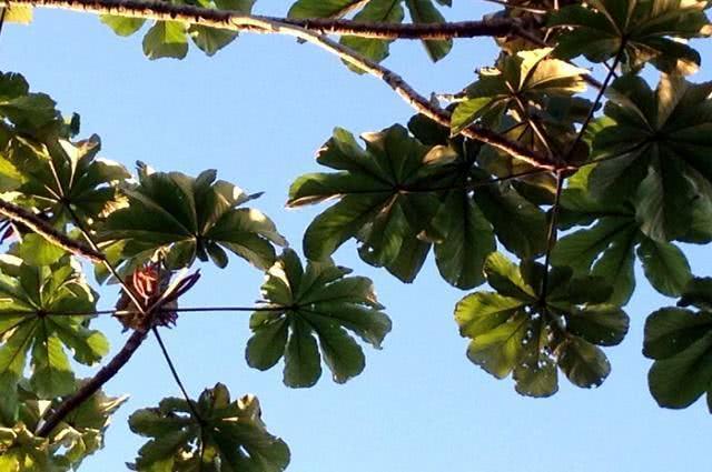 Imagem de folhas da planta umbaúba