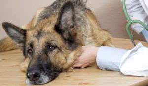 vet examining a sick German Shepherd
