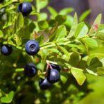 Descubra como fazer a colheita ideal das folhas de mirtilo para chá