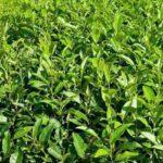 Saiba como plantar em casa a erva de chá verde