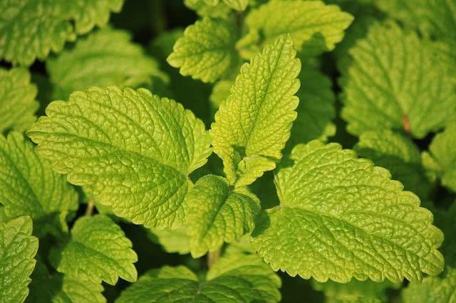10-ervas-medicinais-que-curam-enfermidades-atraves-de-chas cidreira