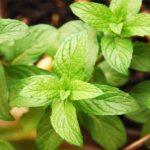 Chá de hortelã atua como um benéfico calmante