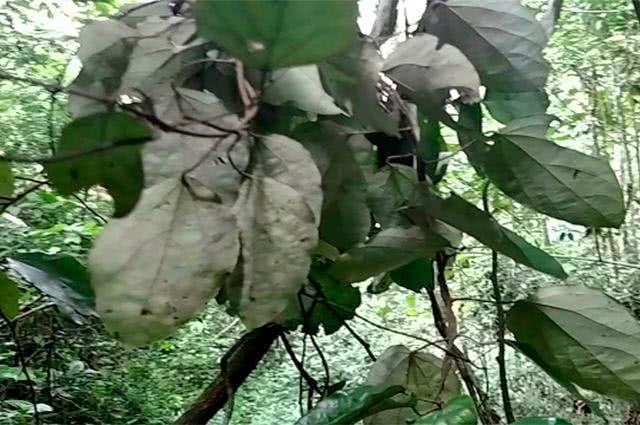 abutua-conheca-a-planta-amiga-da-saude-feminina
