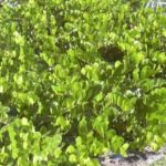 Benefícios e propriedades do chá de abajerú