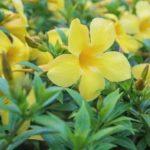 Chá de Alamanda da Flor Grande e seus benefícios