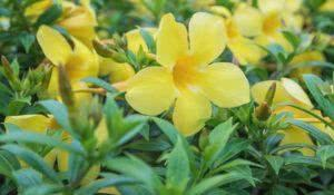 Allamanda, beautiful yellow flower