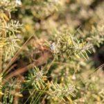 Chá de alecrim do campo e seus benefícios à saúde