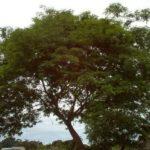 Chá de angico vermelho: benefícios e propriedades