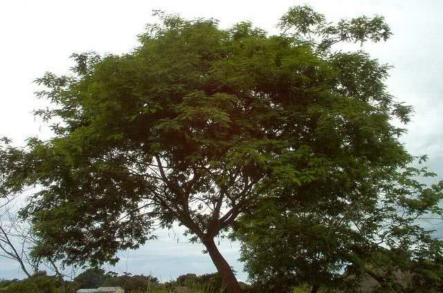 cha-de-angico-vermelho-beneficios-e-propriedades