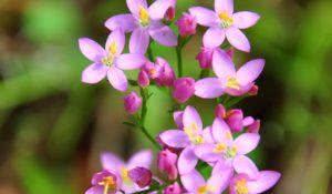 Centaury (Centaurium erythraea)